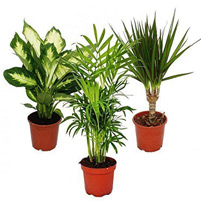 Indoor - Outdoor Plants & Palm Trees